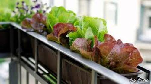 Fine Vegetable Garden on Your Balcony