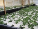 How to Grow Aeroponic Potatoes: 5 Amazing Ideas and Steps