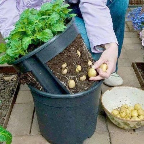How To Plant Potatoes In A Pot Tips