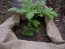 How to Plant Potatoes above Ground: 5 Guides for Starters