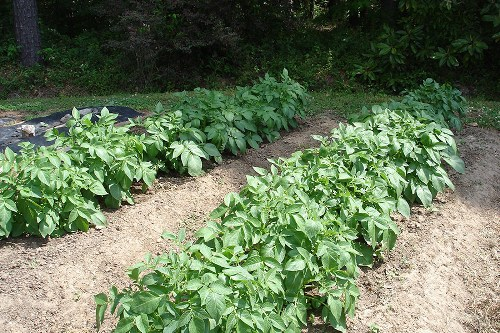 Potatoes above Ground Planting