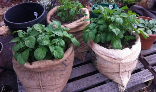 Potatoes above Ground Tips