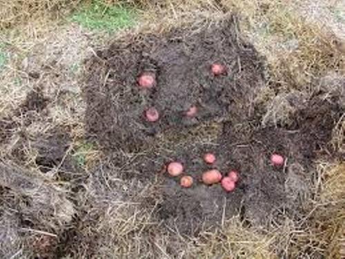 Potatoes in Hay Pic