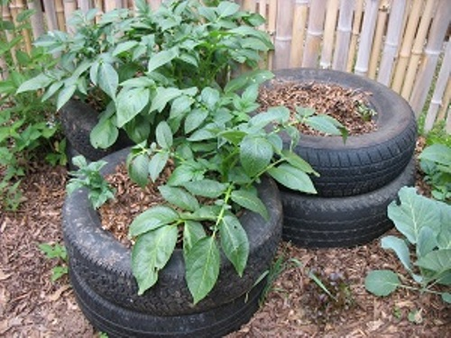 Potatoes in Tires Pictures