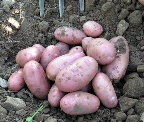 how to grow potatoes in brisbane