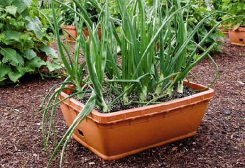 Vegetable Garden in Pot