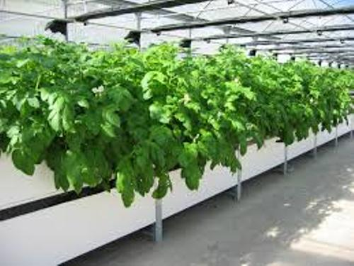 Aeroponic Potatoes Growing Process