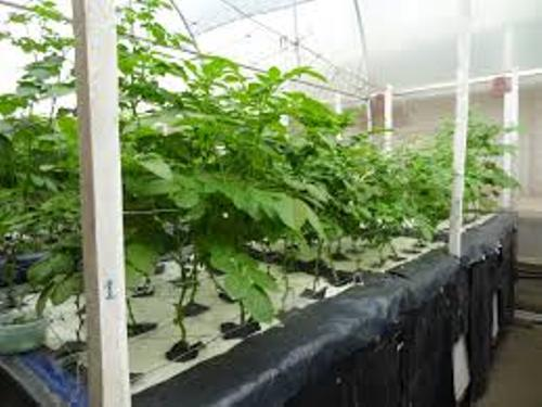 Aeroponic Potatoes Pictures