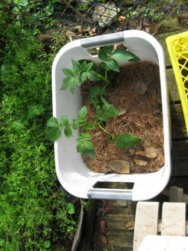 How To Plant Potatoes In A Pot Images