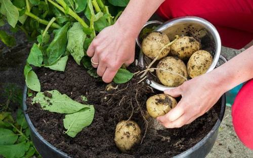 How To Plant Potatoes In A Pot