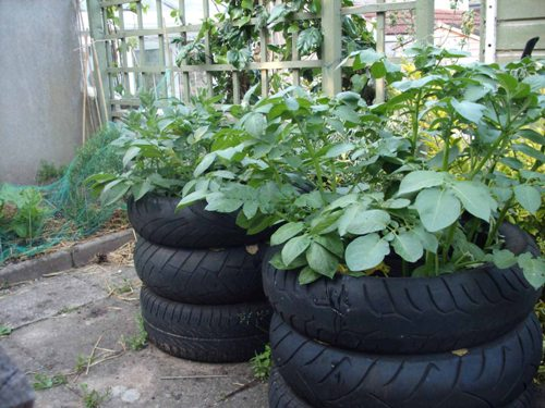 Nice Potatoes in Tires.