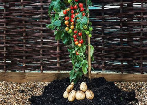 Potatoes above Ground Ideas