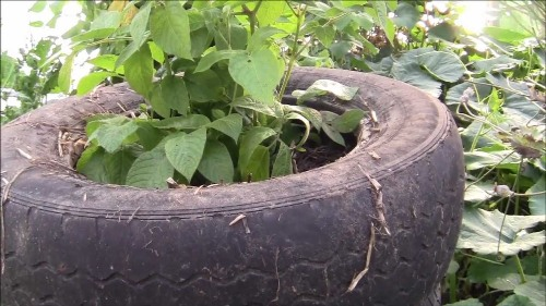 Potatoes in Straw and Tires Pictures